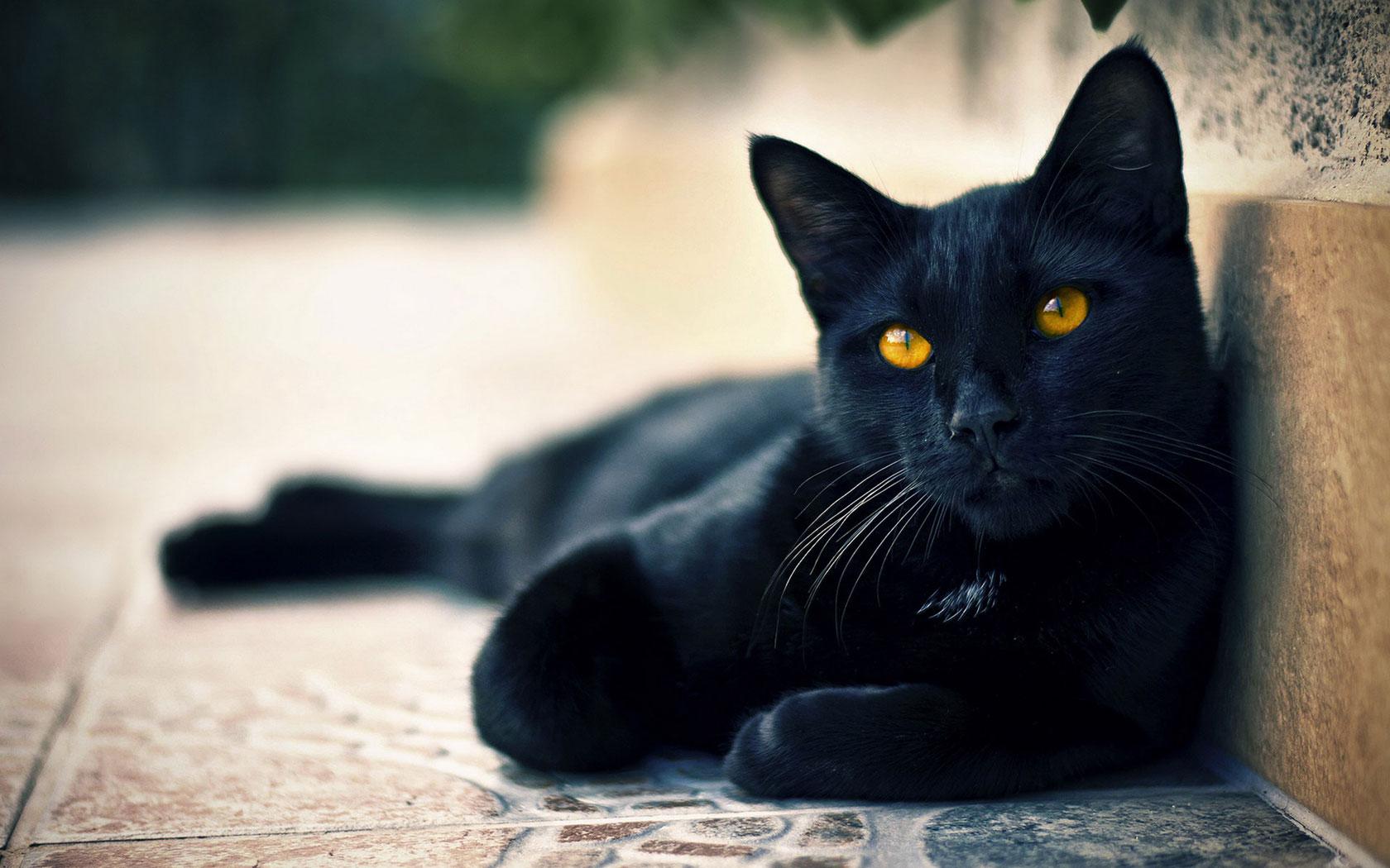 黑色星期五 动物收容所免费领养黑猫!