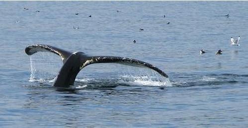 金侨驹�(_【旅游】加拿大观鲸圣地-新斯科舍省独占两席