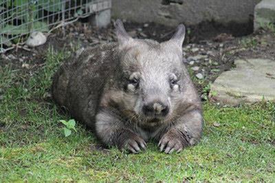 多伦多动物园最老袋熊 欢度33岁生日