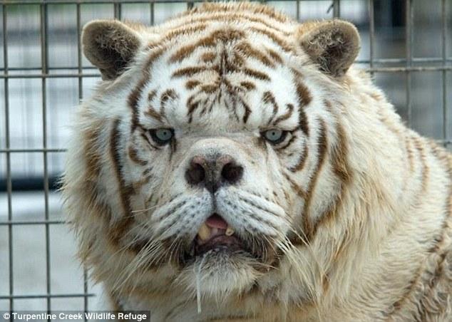 """英惊现世界最丑老虎 活像动物界的""""唐氏儿"""""""