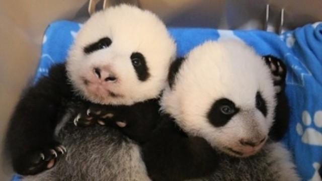 多伦多动物园双胞胎熊猫 原来是龙凤胎