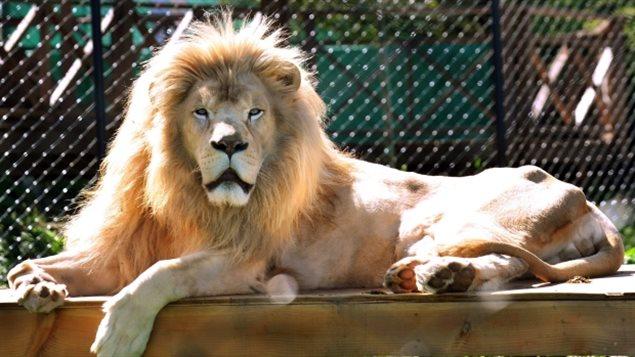 """渥太华动物园的狮子""""越狱""""被击毙"""