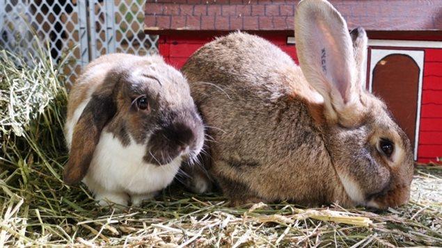 """复活节过,加拿大""""兔子救援""""组织准备接收遭遗弃小兔子"""