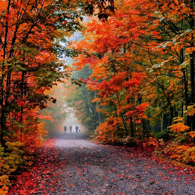 秋季枫叶报告:30%的阿冈昆枫叶已开始变色!