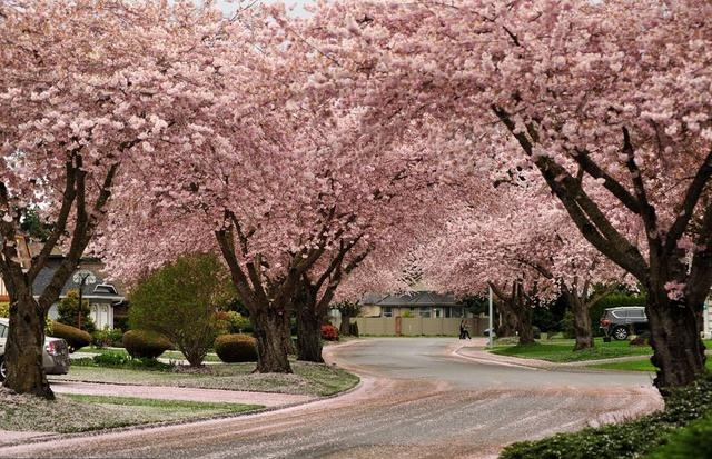 cherry-blossom-sakura-6-728x486.jpg