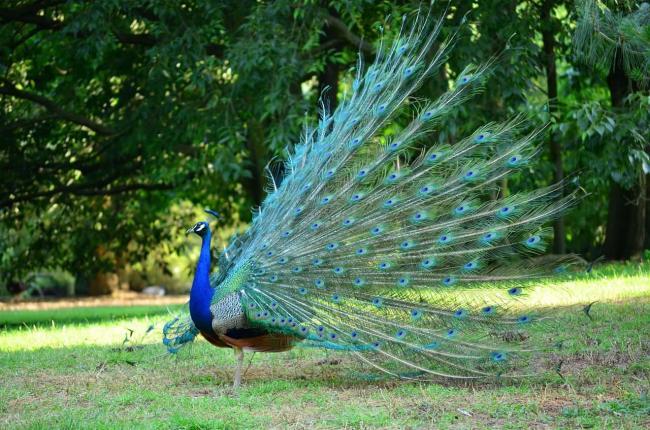 peacock-tail-span.jpg