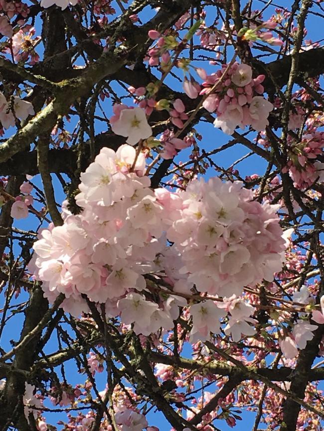 图一:樱花初绽.jpg