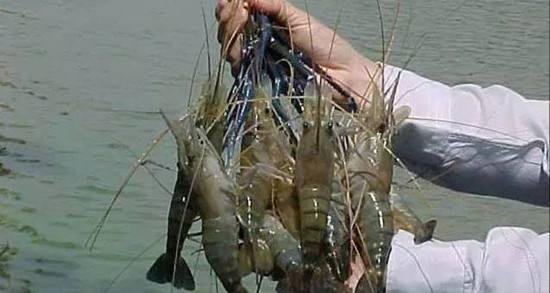 又一巨虾入侵,有人担心泛滥成灾,网友:有能耐试试