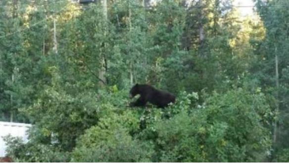 """""""温哥华黑熊""""的图片搜索结果"""