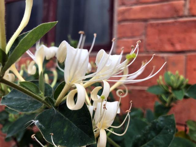 春天干燥容易上火,不如养棵金银花,花朵摘下能泡茶!