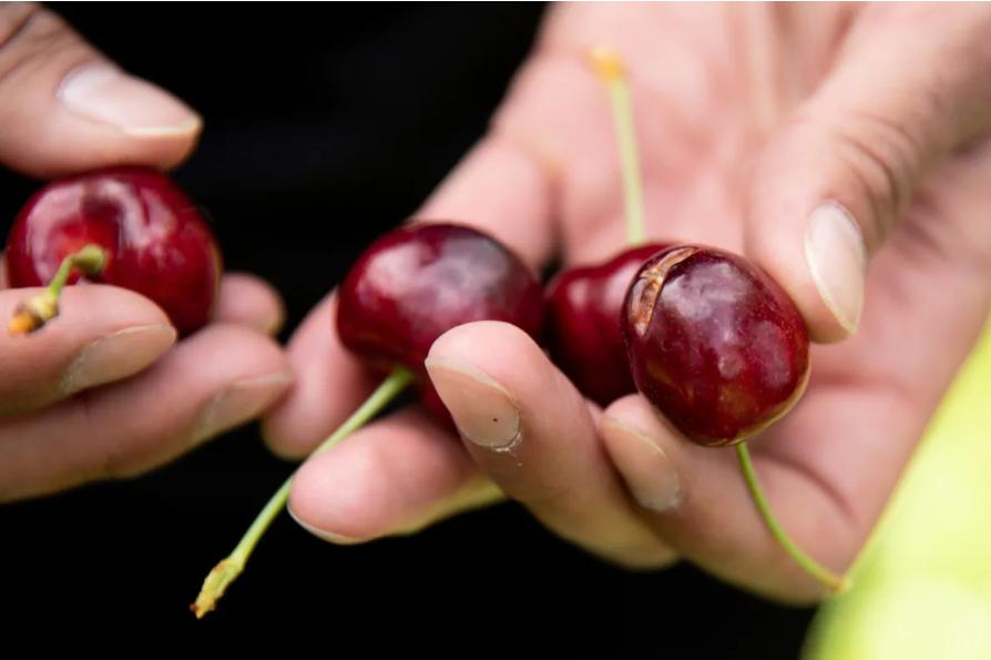 樱桃熟了:BC省樱桃农场急需采摘人手
